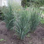 Switch Grasses & Sedges