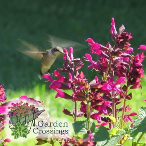 Rockin Fuchsia Salvia