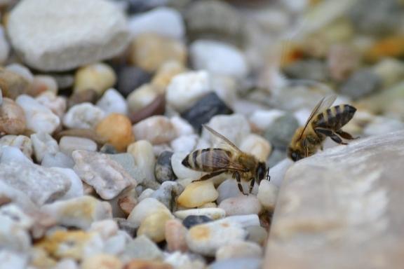 bee on pebbles
