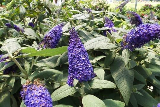 pugster blue butterfly bush