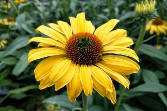 lemon yellow cone flower