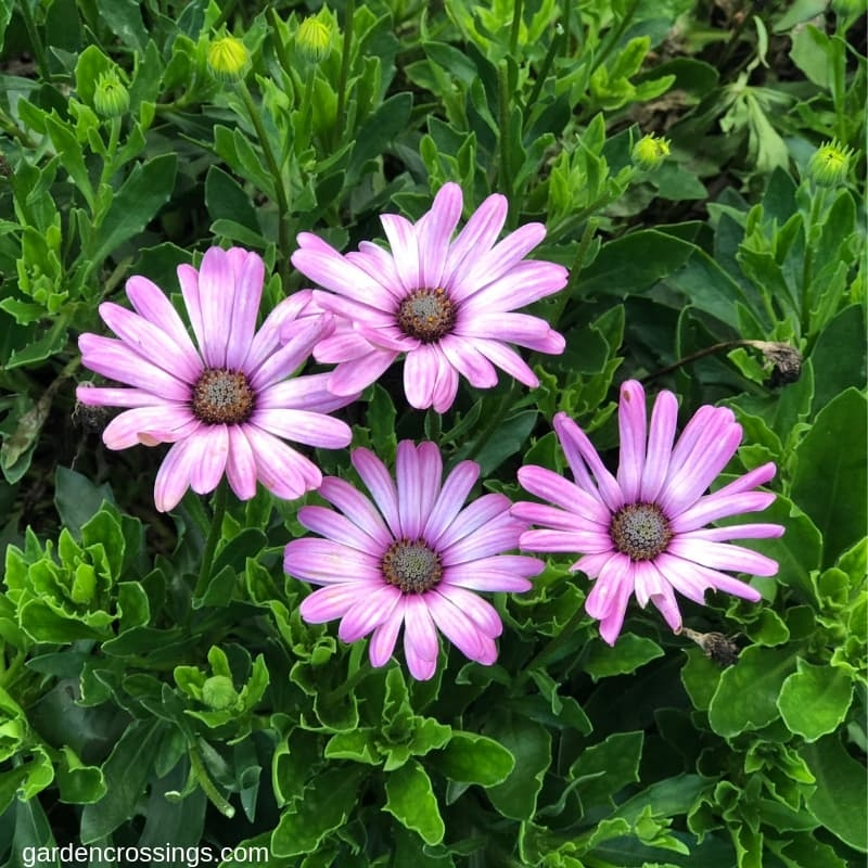 Bright Lights Pink Osteospermum
