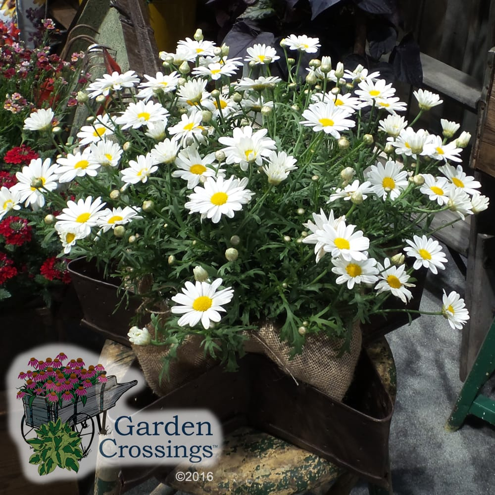 Argeranthemum Pure White Butterfly