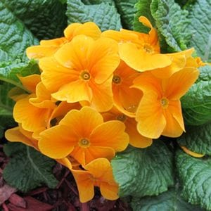 Primroses can handle Early Spring's Fickle Weather