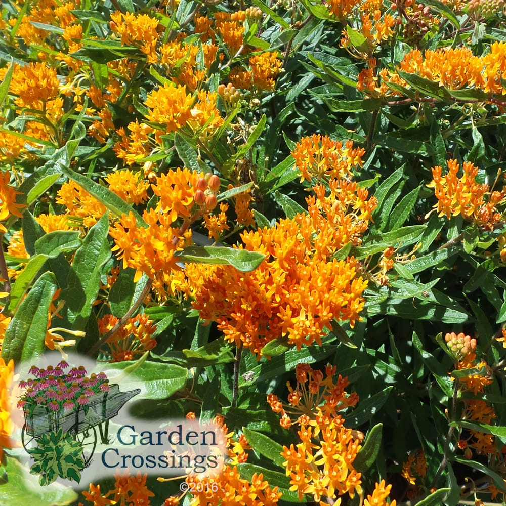 Asclepias tuberosa Perennial Plant of The Year 2017
