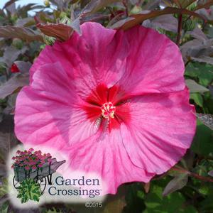 Summerific? Hibiscus 'Berry Awesome'