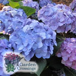 Blue Hydrangea Let's Dance Blue Jangles
