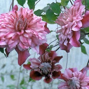 Patricia Ann Fretwell Clematis