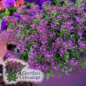 Lobularia 'Dark Knight'