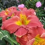 Daylilies for clay soil