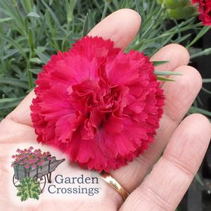 FRUIT PUNCH® Dianthus Series