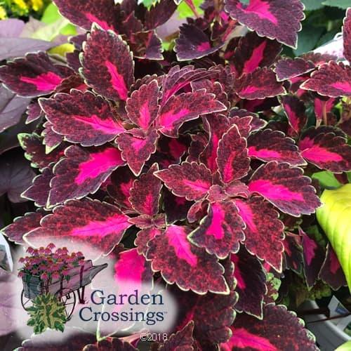 ColorBlaze Velveteen coleus