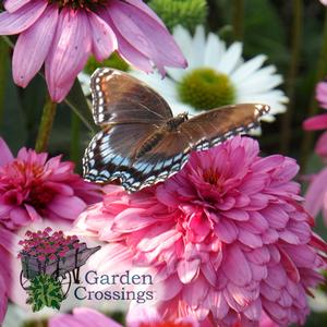 Butterfly Attracting Perennials- Coneflower