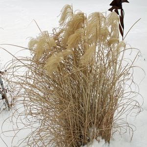 Miscanthus 'Morning Light' Provide Winter Interest