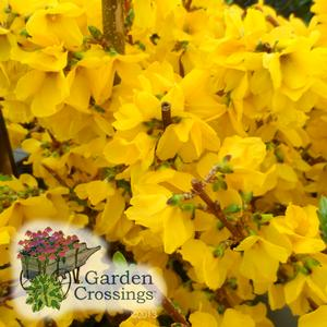 Show Off® Forsythia, 3 height options