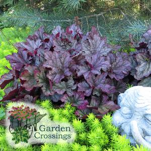 Heuchera Care Planting Growing Cultural Information