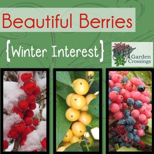 Holly Berries for Winter Interest