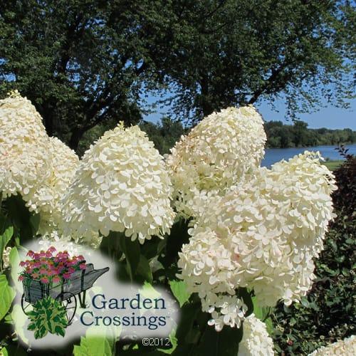 Hardy Hydrangea