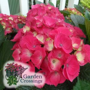 Hydrangea 'Paris' - Pink