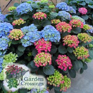 Hydrangea-Pink or Blue
