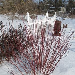 Arctic Fire™ Cornus in January