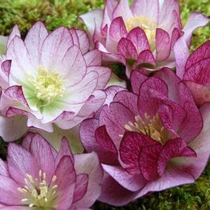 Hellebores have stunning blooms that appear in late winter and early spring.