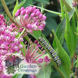 Asclepias Milkweed