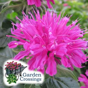 Monarda- Bee Balm- Butterfly Attracting Plants