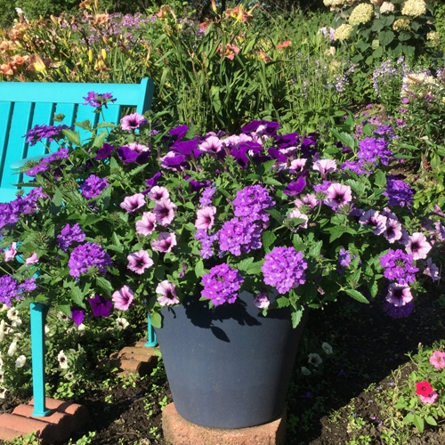 Supertunia Bordeaux Petunia