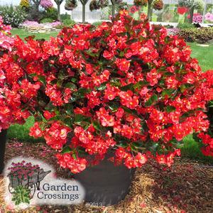 Surefire™ Red Begonia