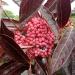 Viburnum Brandywine