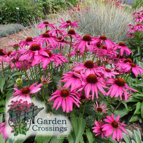 Echinacea Plant Care Tips