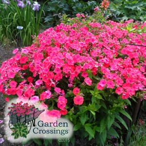 Tall Garden Phlox Care Tips