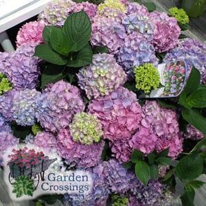Hydrangea Plant Care Tips
