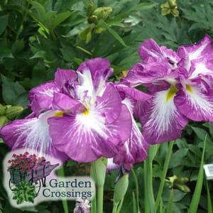 Iris Plant Care Tips