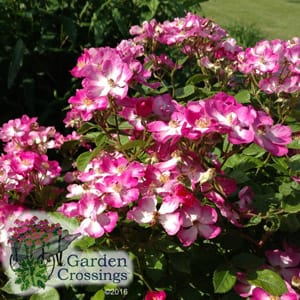 Shrub Plant Care Tips