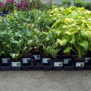 Hostas at Garden Crossings