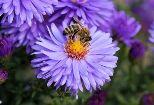 Bee on an Aster