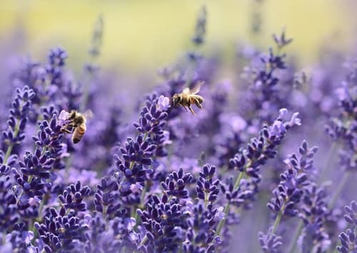 Lavender Plants with Bees