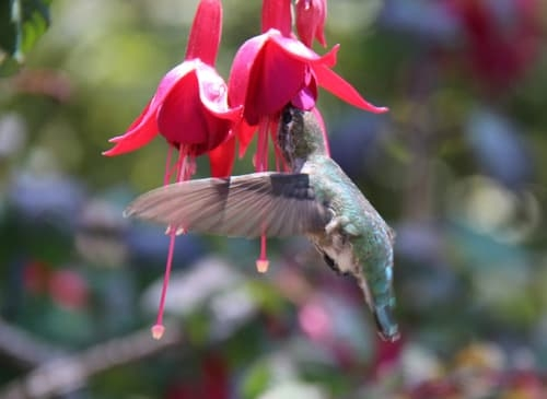 Hummingbird and Fuchsia Flowers