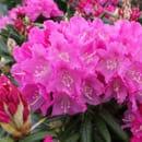Early Flowering Shrubs