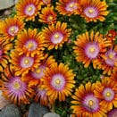 Drought Tolerant Perennials