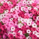 Pink Flowering Combinations