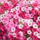 Pink Flowering Combinations