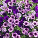 Purple Flowering Combinations