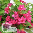 Top Selling Shrubs