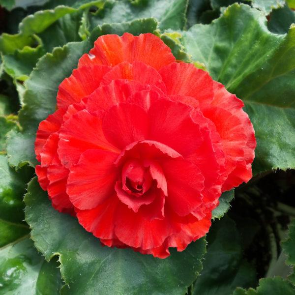 Begonia Nonstop Red Tuberous Begonia