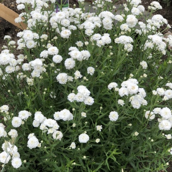 ACHILLEA PETER COTTONTAIL YARROW