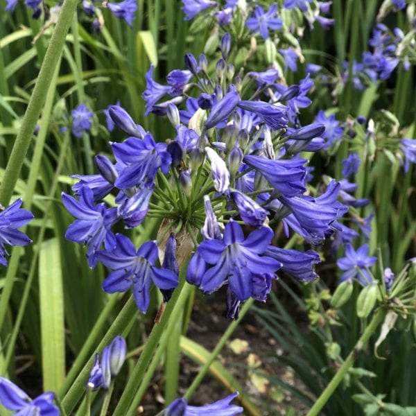 AGAPANTHUS LITTLE GALAXY LILY OF THE NILE