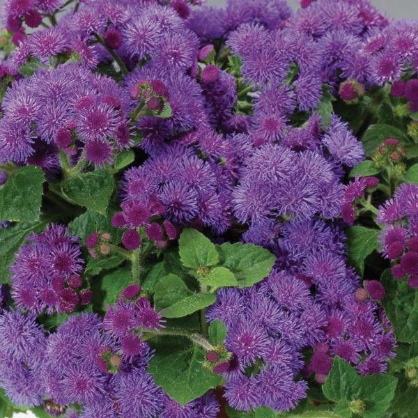 AGERATUM ARTIST BLUE FLOSS FLOWER